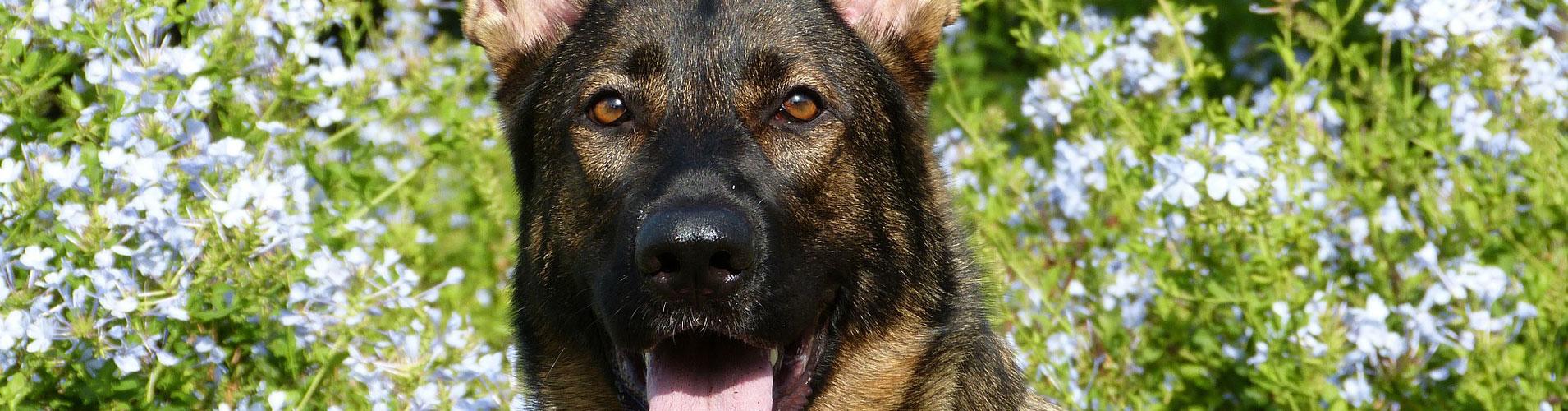 Cursus-honden-gehoorzaamheid