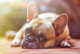 bulldog ligt op de grond
