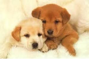 twee puppies